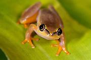 Madagascar Reed Frog, Heterixalus madagascariensis, Maroantsetra, Madagascar