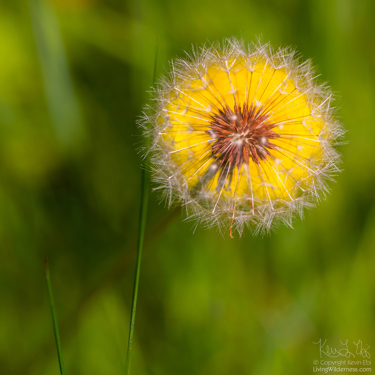 A common dandelion (Taraxacum officinale) seed head is visible in front of the flower of another dandelion.