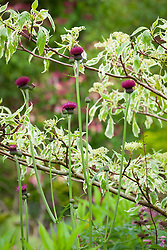 Cirsium rivulare 'Atropurpureum' growing up through the lower branches of Cornus controversa 'Variegata'. Plume thistle, Dogwood