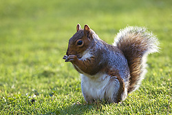 July 21, 2019 - Squirrel On Grass (Credit Image: © John Short/Design Pics via ZUMA Wire)