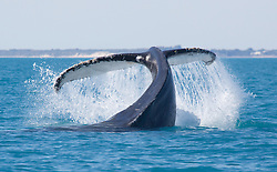 A Humpback whale displays its tail off Broome's Cable Beach