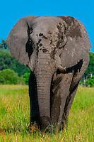 Elephant, near Kwara Camp, Okavango Delta, Botswana.