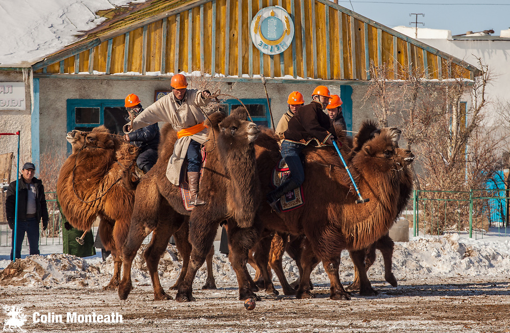 Bactrian camel polo,  ' festival of a thousand camels' Bulgan, winter in Gobi desert, Mongolia