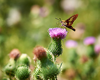 Hummingbird Clearwing Moth feeding on on Thistle flowers. Image taken with a Nikon D3x camera and 105 mm f/2.8 macro lens (ISO 100, 105 mm, f/4.5, 1/400 sec)