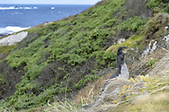 Pitt Island Shag - Stictocarbo featherstoni