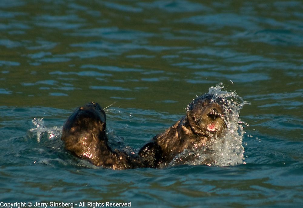 Sea otters playing in the cold waters of Aialik Bay Kenai Fjords National Park Alaska