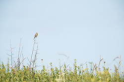Dickcissel perched on stick above Blackland Prairie at Clymer Meadow Preserve, Texas Nature Conservancy, Greenville, Texas, USA.
