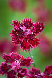 Dianthus 'Fandango'