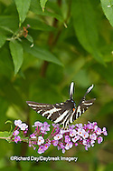 03006-00310 Zebra Swallowtail (Eurytides marcellus) on Butterfly Bush (Buddleia davidii) Marion Co., IL