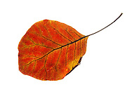 Autumn leaf. Single fall leaf against white. Natural colors and textures.