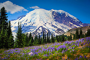 Meadows carpeted with lupines at Sunrise in Mount Rainier National Park