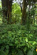 Forest scene, Lyon Aboretum, Oahu, Hawaii