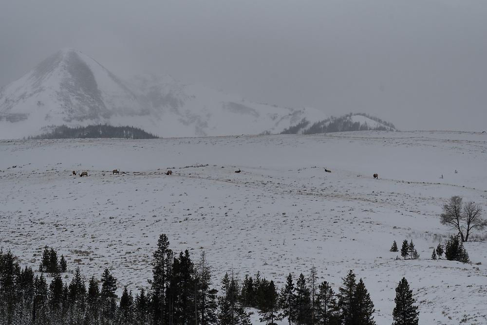 Bachelor Group of Bull Elk graze on a hillside in Swan Lake Flats, Yellowstone