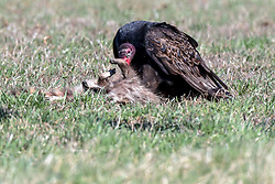 Turkey Vulture (Cathartes aura) eating some roadkill - a dead racoon (Procyon lotor)