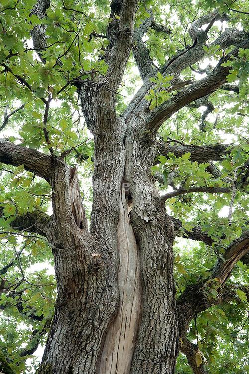 upward view of an very old oak tree