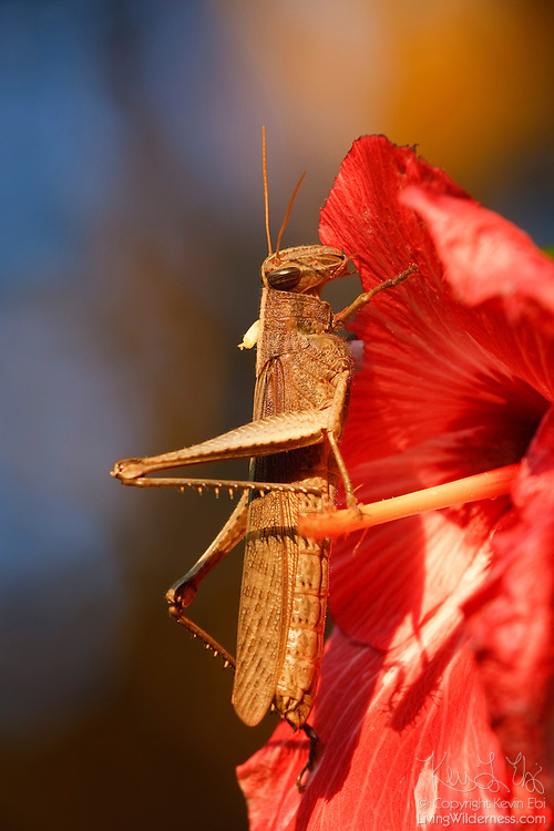 A grasshopper feeds on a hibiscus flower in the jungle near Sayulita, Mexico.