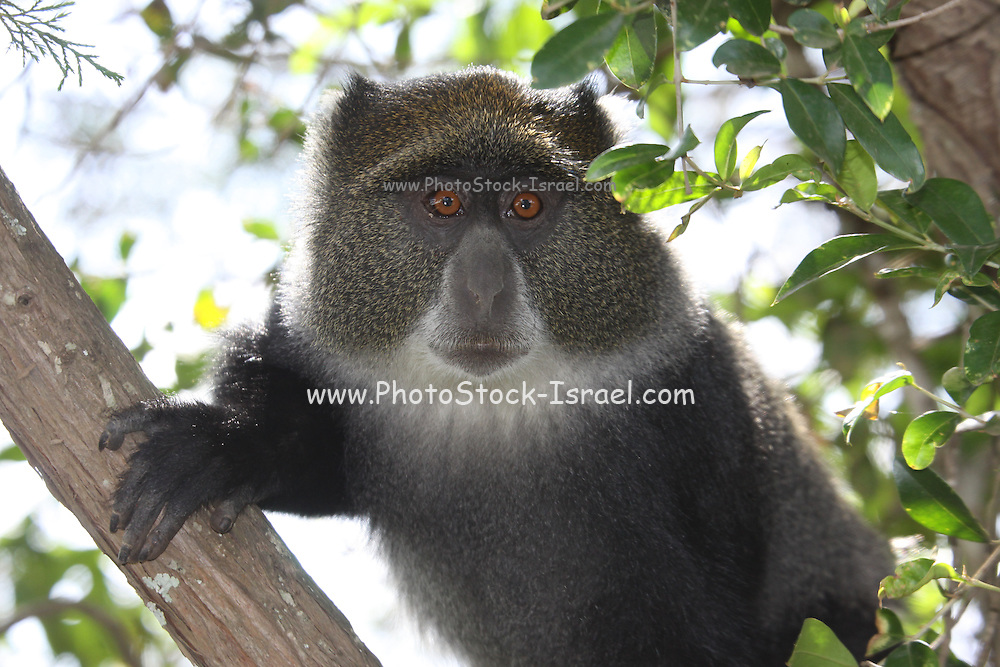 Sykes' monkey (Cercopithecus albogularis), also known as the white-throated monkey or Samango monkey, in a tree. This is a largely arboreal monkey which inhabits the forests of central, southern and eastern Africa. It is active by day. It lives in troops of between ten and forty individuals, governed by a dominant male. It feeds mainly on fruit and leaves, although slugs and worms are also taken. Photographed in Kenya
