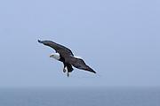 Bald Eagle, Haliaeetus leucocephalus, flying in foggy conditions, grass clinging to talons, Kenai Peninsula, Homer Spit, Homer, Alaska. Digital original, #2006_0424 ©Robin Brandt