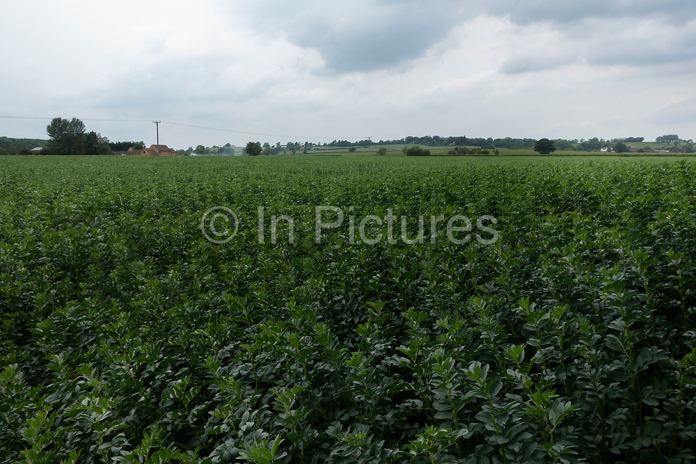 Agricultural landscape of field of broad beans near to Long Itchington, England, United Kingdom.
