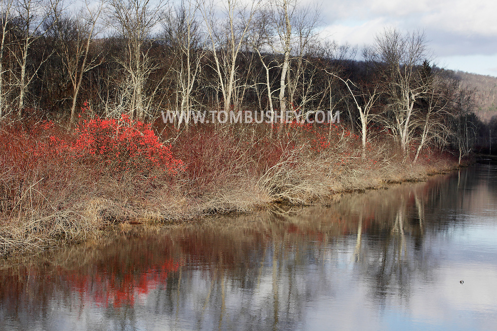 Summitville, New York  - Red berries of the American Mountain Ash (Sorbus americana) can be seen on the banks of the D&H Canal on the morning of  Dec.10, 2011. ©Tom Bushey / The Image Works