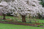 Akebono cherry trees blossoming in the Rose Garden at Stanley Park, Vancouver, British Columbia, Canada