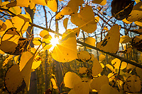 The last light of the day streams through the golden Fall aspen leaves in Northern Utah's Wasatch Mountains.