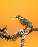 Common Kingfisher (Alcedo atthis), AKA Eurasian Kingfisher or River Kingfisher. This colourful bird is found throughout Eurasia and northern Africa. It eats fish, aquatic insects and crustaceans. Photographed in Israel August