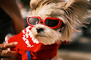 "26 SEPTEMBER 2020 - DES MOINES, IOWA: A dog wearing ""doggles"" watches the motorcade supporting the reelection of President Donald J. Trump. More than 1,500 people in 500 vehicles participated in motorcade through Des Moines Saturday. They started in the suburbs south of downtown, drove through downtown, and ended at the State Capitol.        PHOTO BY JACK KURTZ"