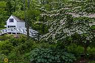 Flowering dogwood tree and Arched Bridge in Somesville, Maine, USA