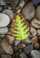 A fallen leaf on river rocks. Quinault Rainforest, Olympic National Park, Washington