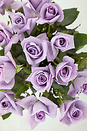 "May 21, 2018, Seika, Japan: These are the latest genetically modified blue roses created by Suntory at their Suntory World Research Center. This project, headed up by Yoshikazu Tanaka, Ph.D., Senior General Manager of this center who for the past 28 years has been working to produce truly blue roses. The nearly mythical blue rose is so elusive as roses lack genes capable of producing blue pigment. As a way to alter this, Tanaka and his team isolated blue genes from petunias that were then introduced into roses that produced the blue pigment called delphinidin. Achieving results in 2004, Suntory was granted government approval to market their genetically modified roses and in 2009, they began selling their first blue rose called ""Applause"" on the the world floral market. Tanaka however still feels challenged and is trying to produce a deep blue rose not only through genetics, but also with the aid of metal ions and compounds that enhance blue pigments called flavones. He is also experimenting with higher ph levels which also help to increase blue pigments. Tanaka and Suntory have also succeeded in producing blue carnations which adapt better to gene modification. In 1997 they began marking their blue ""Moonseries"" carnations and have since introduced other varieties using pansy genes. Due to Suntory holding early patents to this technology, they face no competition in the manufacturing of blue roses and carnations. The international floral market is a multi-billion dollar industry and if Suntory succeeds at producing a perfectly blue rose the market potential would be astounding. Photo by Torin Boyd."
