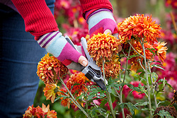 Deadheading chrysanthemums with secateurs