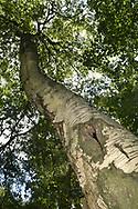 Downy Birch - Betula pubescens