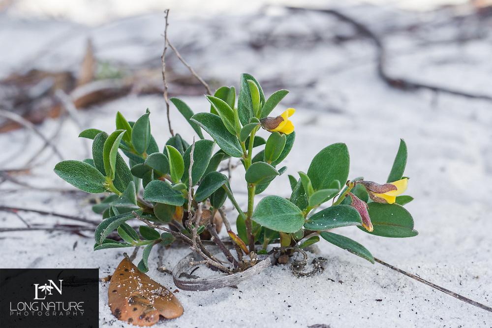 Crotalaria avonensis