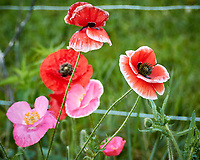 Red, Oriental, and Icelandic Poppies .Image taken with a Nikon 1V3 camera and 70-300 mm VR lens