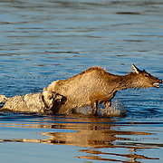 Hayden Valley wolf pack in Yellowstone National park chases a cow elk, catches it and kills it. Wyoming.