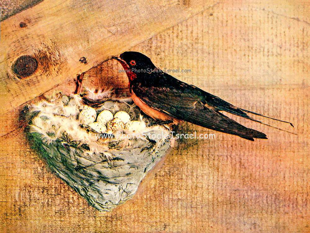 The barn swallow (Hirundo rustica [Here as Chelidon Erythrogaster]) is the most widespread species of swallow in the world.[2] It is a distinctive passerine bird with blue upperparts and a long, deeply forked tail. It is found in Europe, Asia, Africa and the Americas. From Birds : illustrated by color photography : a monthly serial. Knowledge of Bird-life Vol 1 No 3 March 1897
