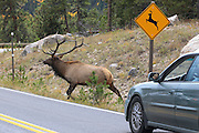 A bull Rocky Mountain elk runs across a highway next to a wildlife crossing sign in Colorado.