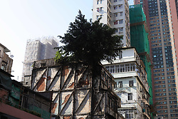 October 5, 2018 - Hong Kong, CHINA - Chinese Banyan Tree ( Ficus Microcarpa ) is seen here firmly rooted on the rooftop of a very old building, its roots firmly gripping onto a wall. Strange trees that thrived on a building such as this can be seen in several spots in Hong Kong that attract curious citizens and tourists to pay a visit. Oct-5,2018 Hong Kong.ZUMA/Liau Chung-ren (Credit Image: © Liau Chung-ren/ZUMA Wire)