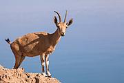 Young Male Nubian Ibex (Capra ibex nubiana), Negev Desert, Israel