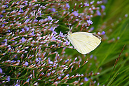 Sea Lavender blooms in the marsh in mid summer.
