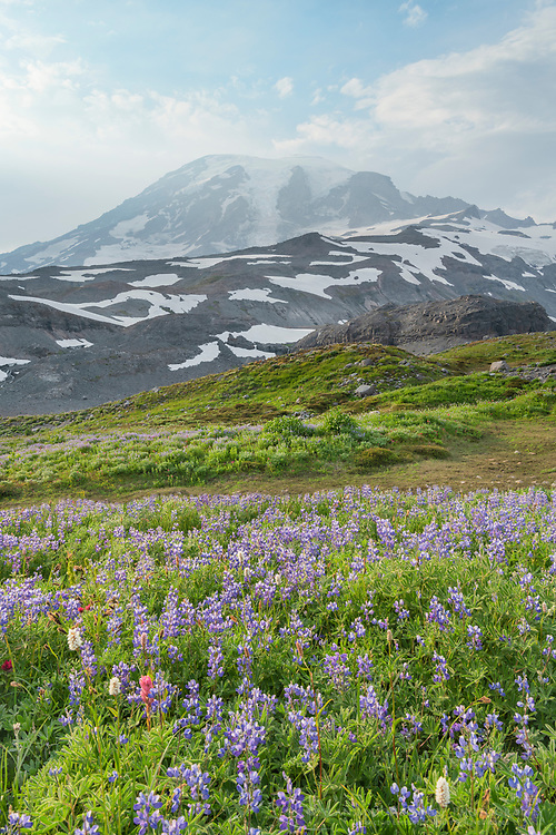 Broadleaf Lupines, and American Bistort along Paradise Glaier Trail. Mount  Rainier National Park, Washington