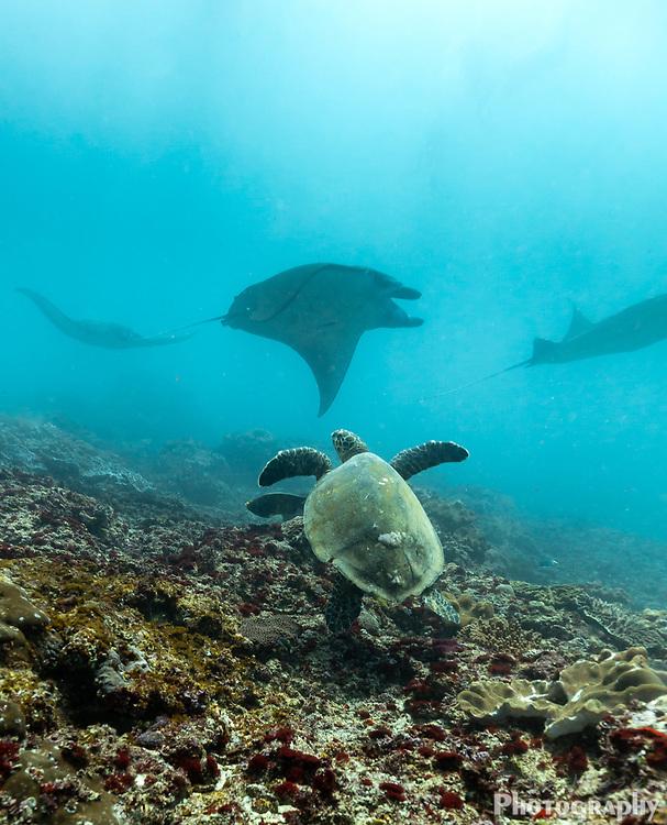 Sea turtle watches train of manta rays, Mobula alfredi, swim past