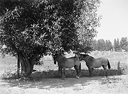 9969-2611. Horses standing in the shade of a willow tree on Sauvie Island. August 19, 1936.
