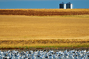 Snow geese and grain bins in autumn<br />