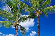 Coconut palms and blue sky, Island of Kauai, Hawaii