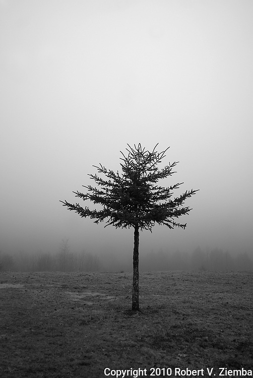 A minimal black and white image of a lone spruce tree in a field with the forest edge visible through the fog in the backround