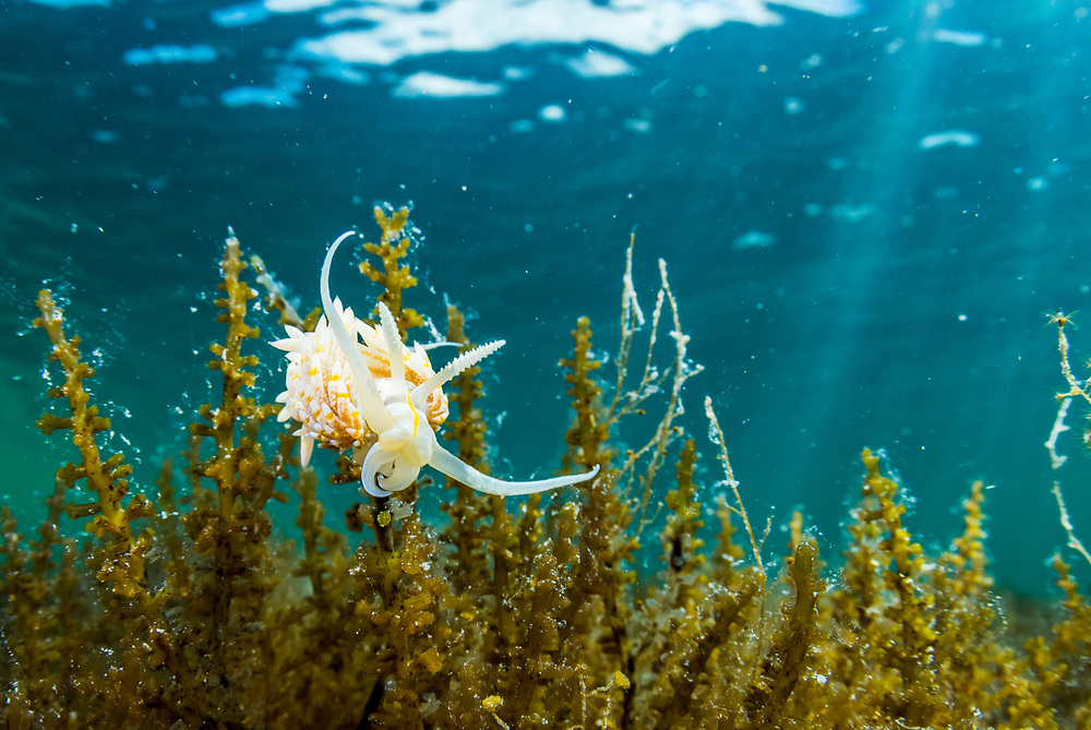 A nudibranch (Dondice occidentalis) feeding on algae in an alkaline pond in The Bahamas.