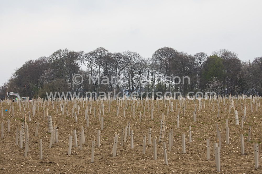 Wendover, UK. 28th April, 2021. Ancient woodland at Jones Hill Wood is viewed across a field containing saplings planted by contractors working on behalf of HS2 Ltd as mitigation for environmental destruction caused by the HS2 high-speed rail link. Felling of Jones Hill Wood, which contains resting places and/or breeding sites for pipistrelle, barbastelle, noctule, brown long-eared and natterer's bats and is said to have inspired Roald Dahl's Fantastic Mr Fox, has recommenced after a High Court judge yesterday refused permission to environmental campaigner Mark Keir to apply for judicial review and lifted an injunction previously imposed to prevent further felling pending legal action.