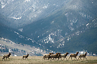 A small group of elk moves along the base of the Gros Ventre mountains on the National Elk Refuge. Several hundred elk remain on the refuge despite the receeding snow and warmer temperatures.